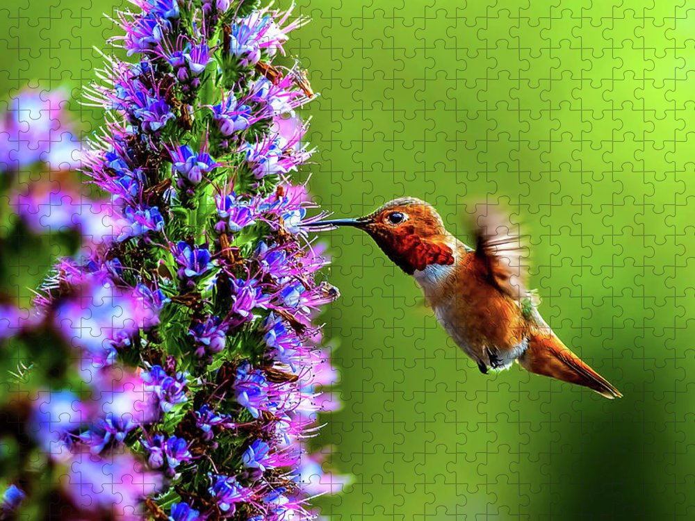 Pride Of Madeira Puzzle featuring the photograph Male Allens Hummingbird by Tongho58
