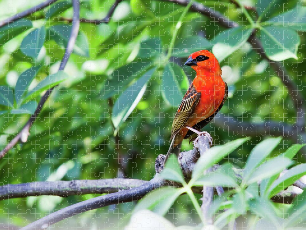 Tropical Tree Puzzle featuring the photograph Male Red Fody Bird On The Tree Branch by Stocknshares