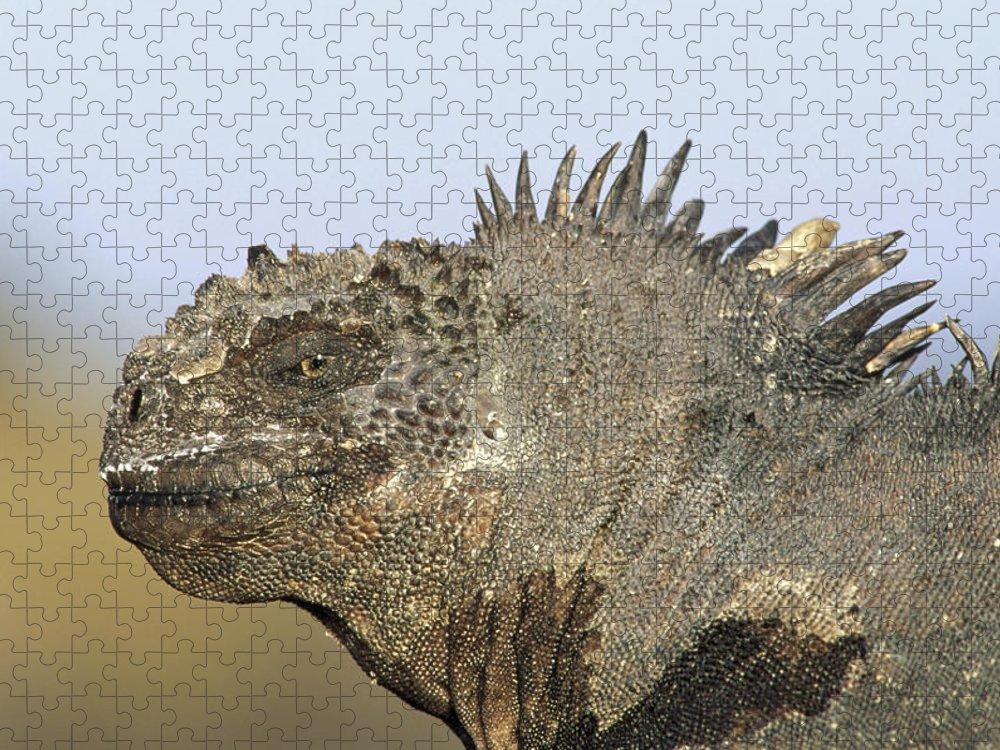 Feb0514 Puzzle featuring the photograph Marine Iguana Male Santa Cruz Island by Tui De Roy