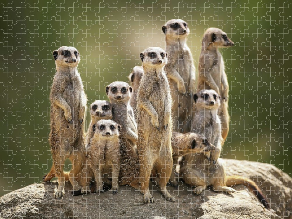 Scenics Puzzle featuring the photograph Meerkat Family On Lookout by Kristianbell