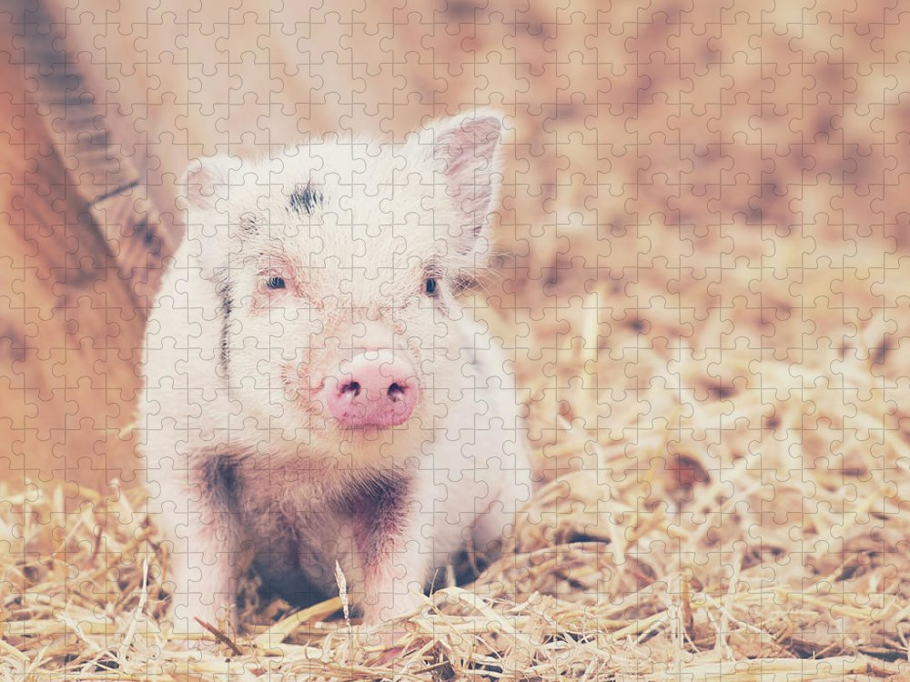 Pig Puzzle featuring the photograph Micro Pig by Samantha Nicol Art Photography