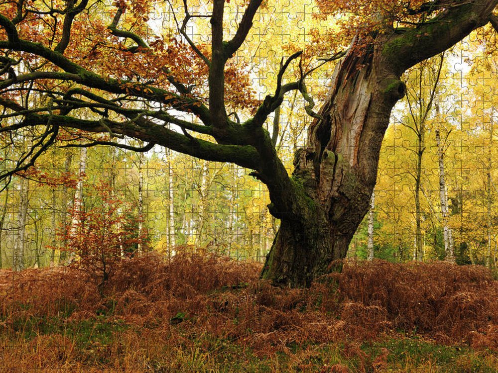 Aging Process Puzzle featuring the photograph Moss Covered Ancient Hollow Oak Tree In by Avtg