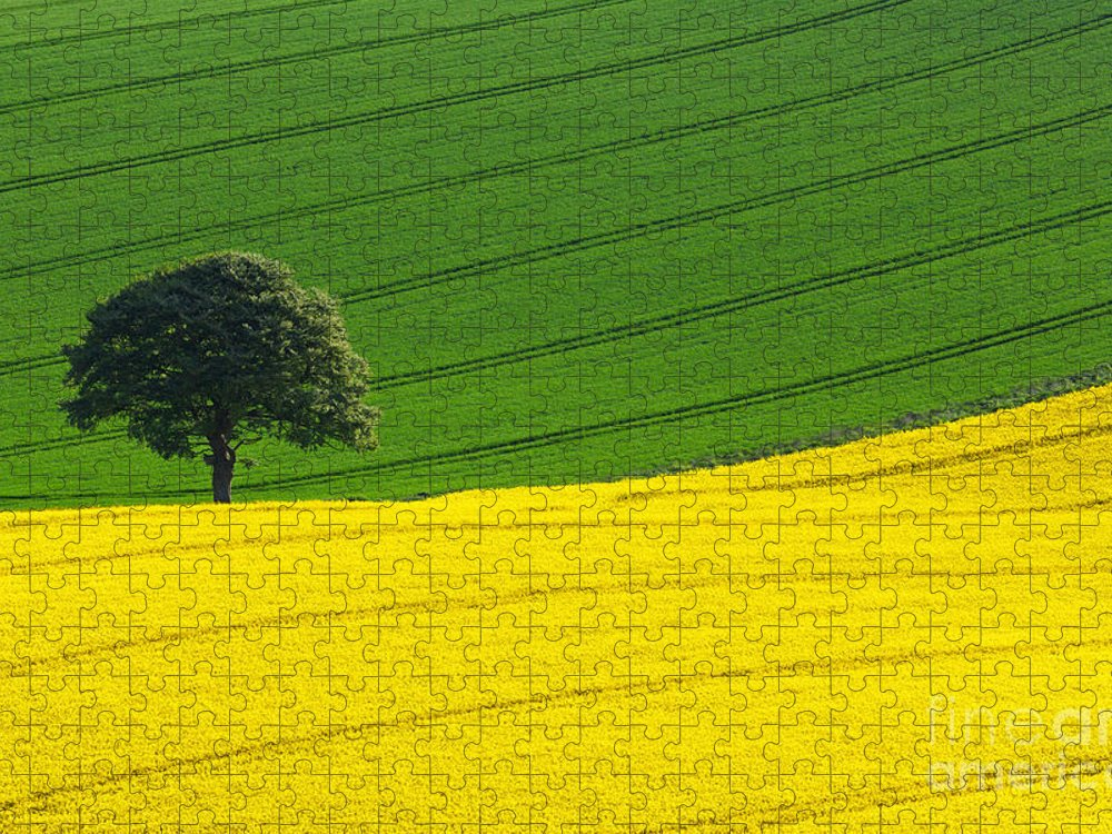 Rape Seed Puzzle featuring the photograph Oak tree split by Richard Thomas