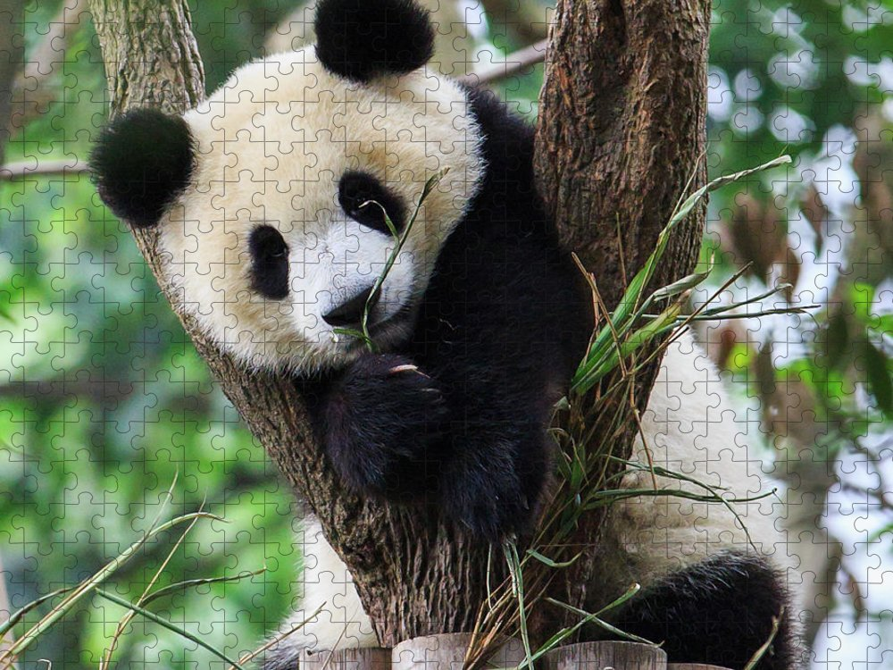 Panda Puzzle featuring the photograph Panda Cub Resting On Tree by Feng Wei Photography