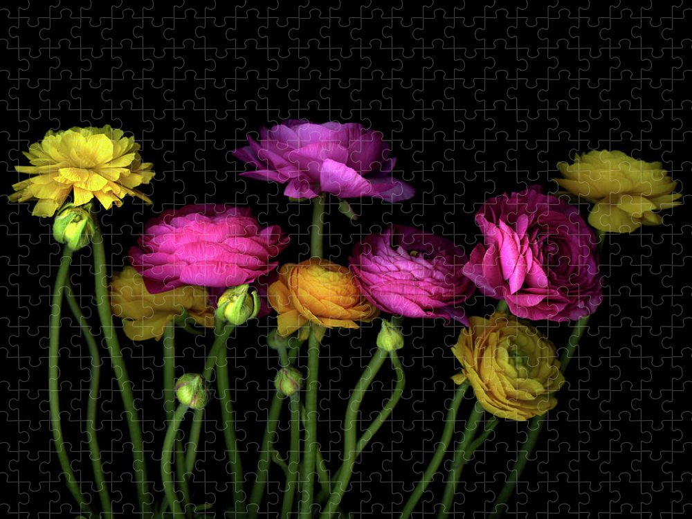 Black Background Puzzle featuring the photograph Persian Buttercups Ranunculus Asiaticus by Photograph By Magda Indigo