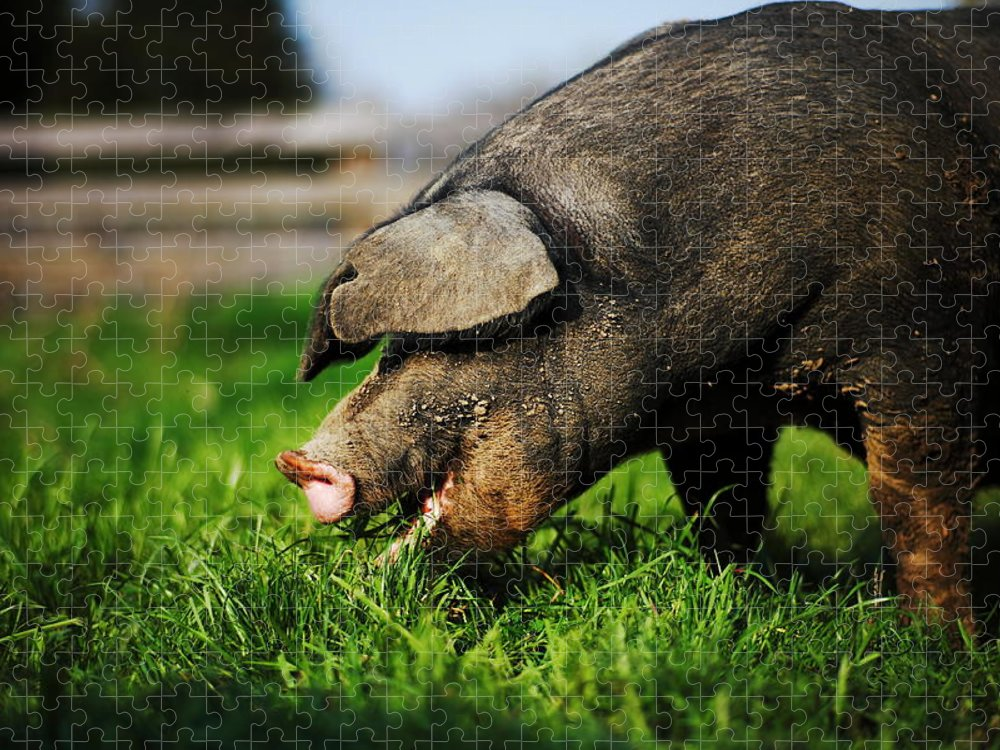 Pig Puzzle featuring the photograph Pig Eating by Jimss
