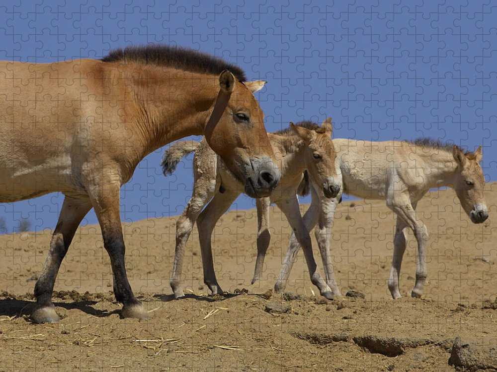 Feb0514 Puzzle featuring the photograph Przewalskis Horse With Two Foals by San Diego Zoo