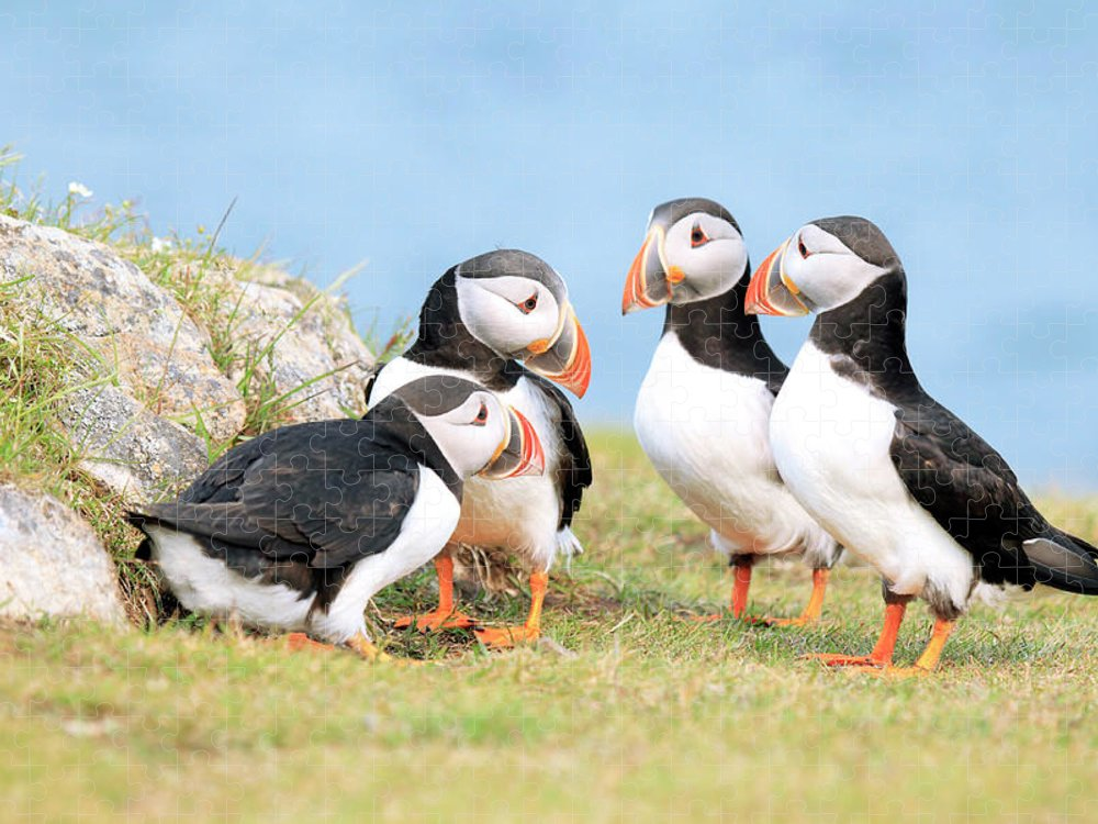 Grass Puzzle featuring the photograph Puffin Pow-wow by Mlorenzphotography