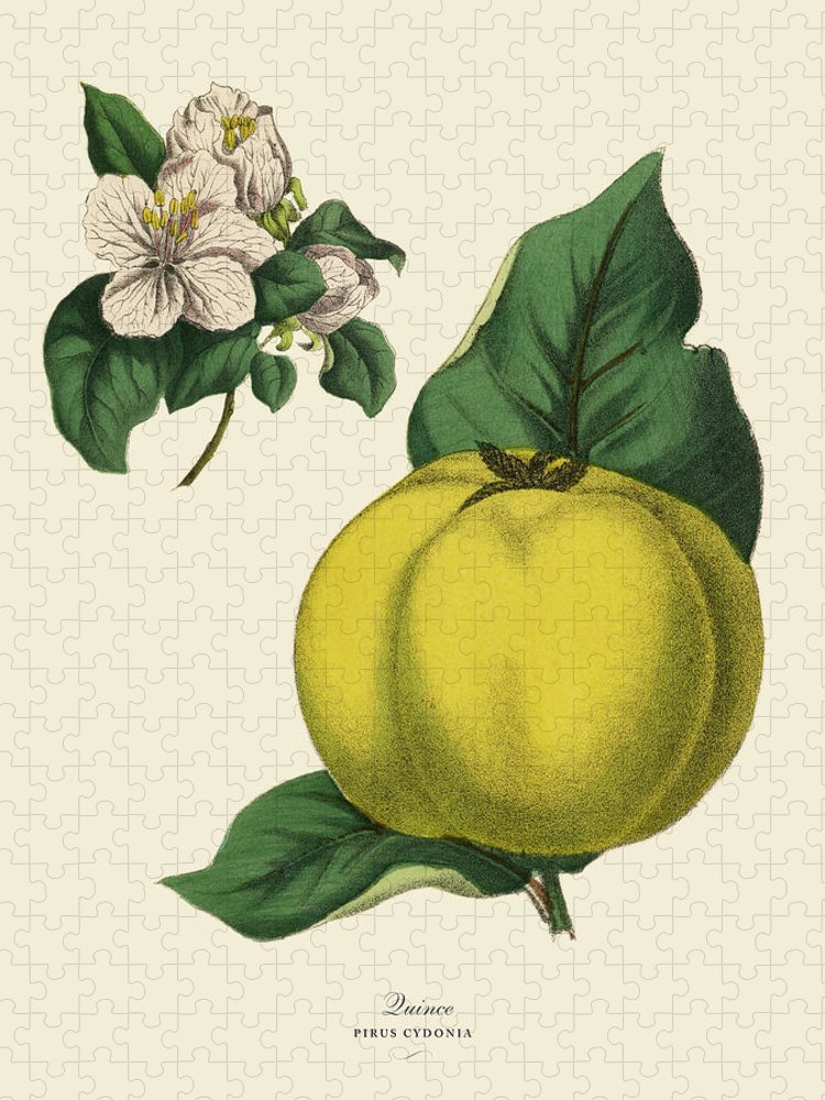 1880-1889 Puzzle featuring the digital art Quince Fruit Tree, Victorian Botanical by Bauhaus1000