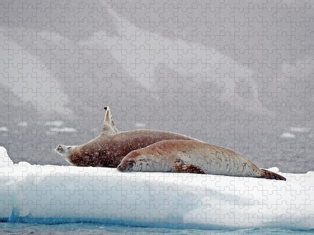 Animals In The Wild Puzzle featuring the photograph Seals Laying On A Piece Of Ice by Jim Julien / Design Pics