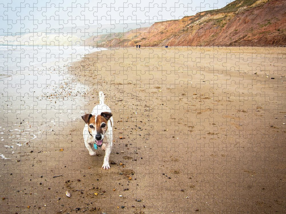 Pets Puzzle featuring the photograph Senior Jack Russell Terrier Running On by Gollykim