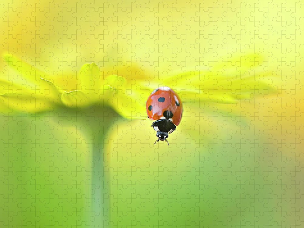 Buckinghamshire Puzzle featuring the photograph Seven Spot Ladybird On Yellow Flower by Jacky Parker Photography