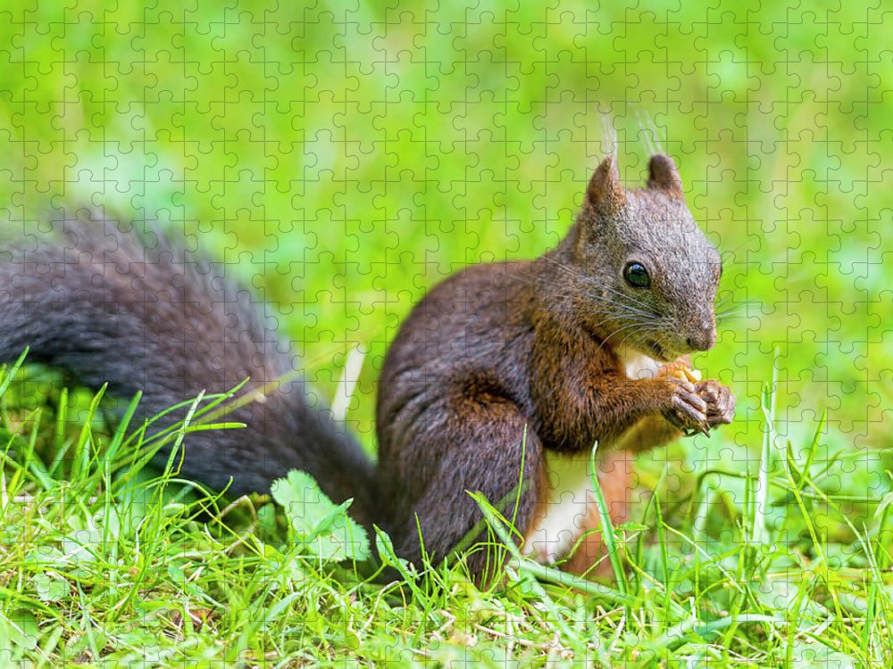 Nut Puzzle featuring the photograph Squirrel Eating A Nut In The Grass by Picture By Tambako The Jaguar