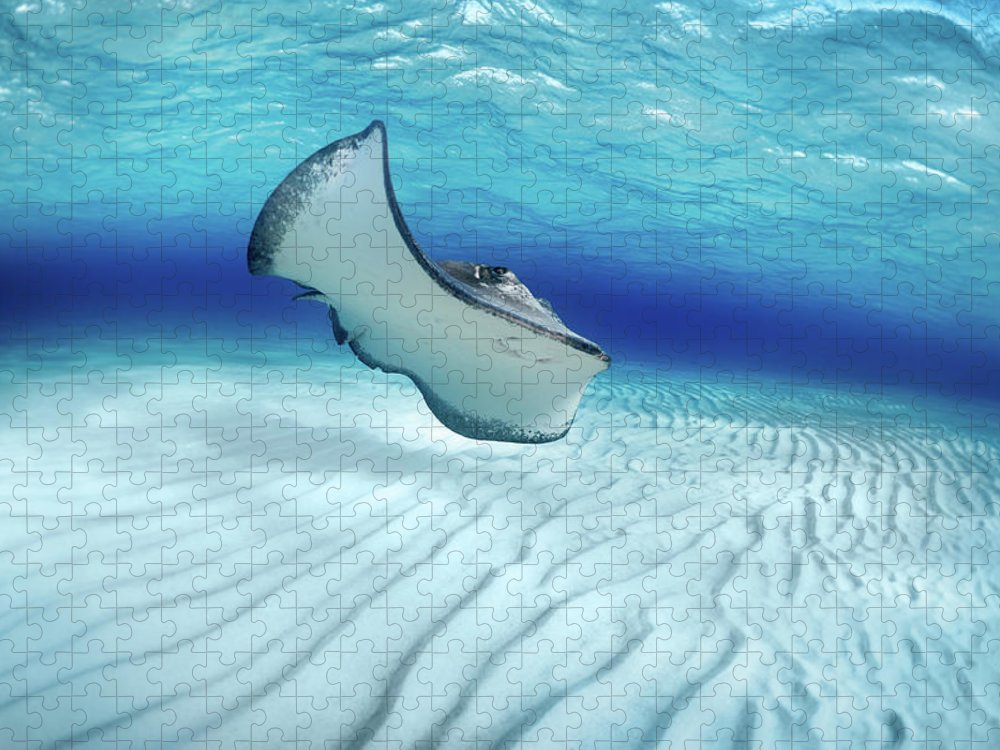 Underwater Puzzle featuring the photograph Stingray by Extreme-photographer