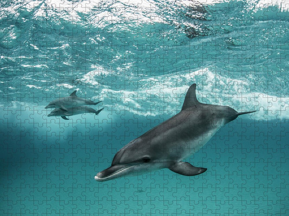 Tranquility Puzzle featuring the photograph Three Atlantic Spotted Dolphins by Rodrigo Friscione