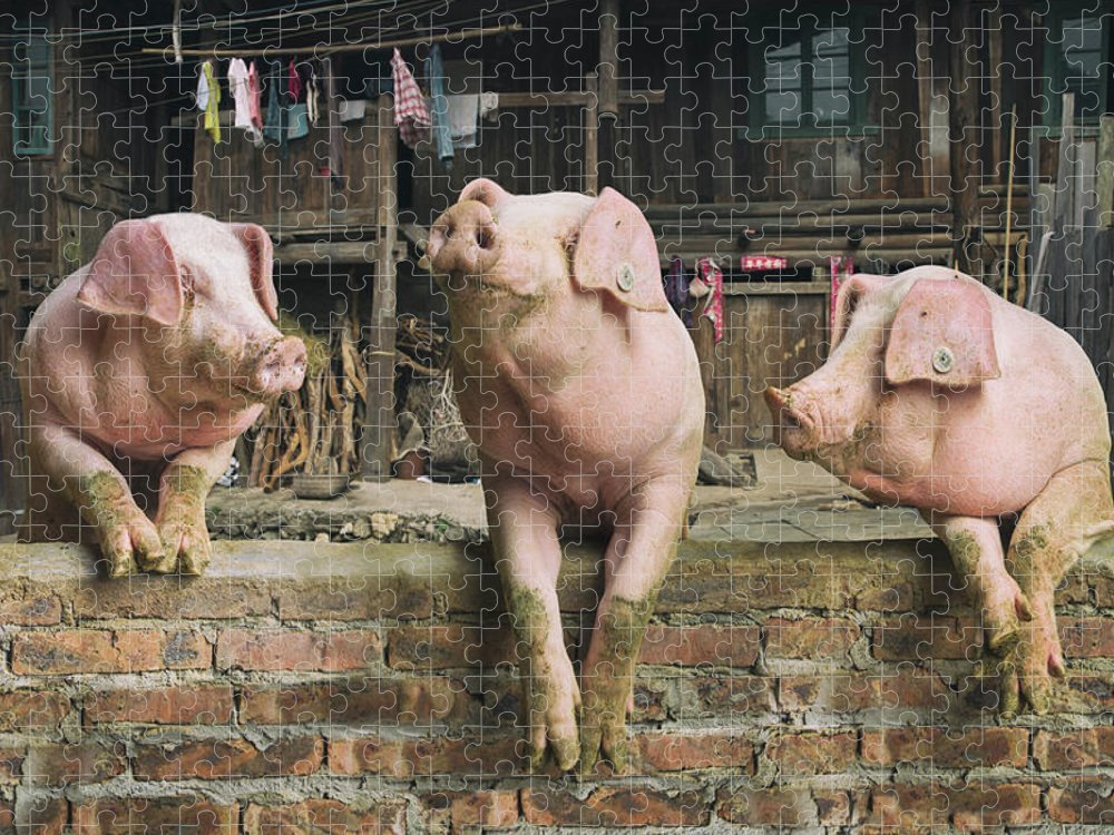 Pig Puzzle featuring the photograph Three Pigs Having A Chat In A Remote by Mediaproduction
