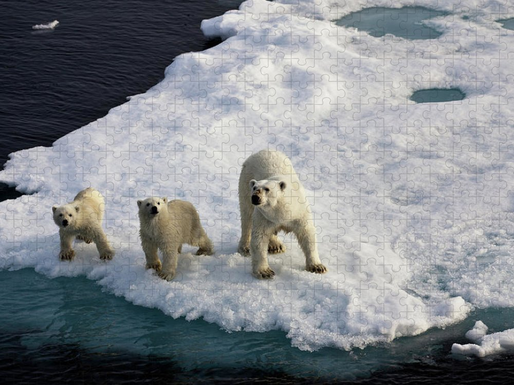Social Issues Puzzle featuring the photograph Three Polar Bears On An Ice Flow by Seppfriedhuber