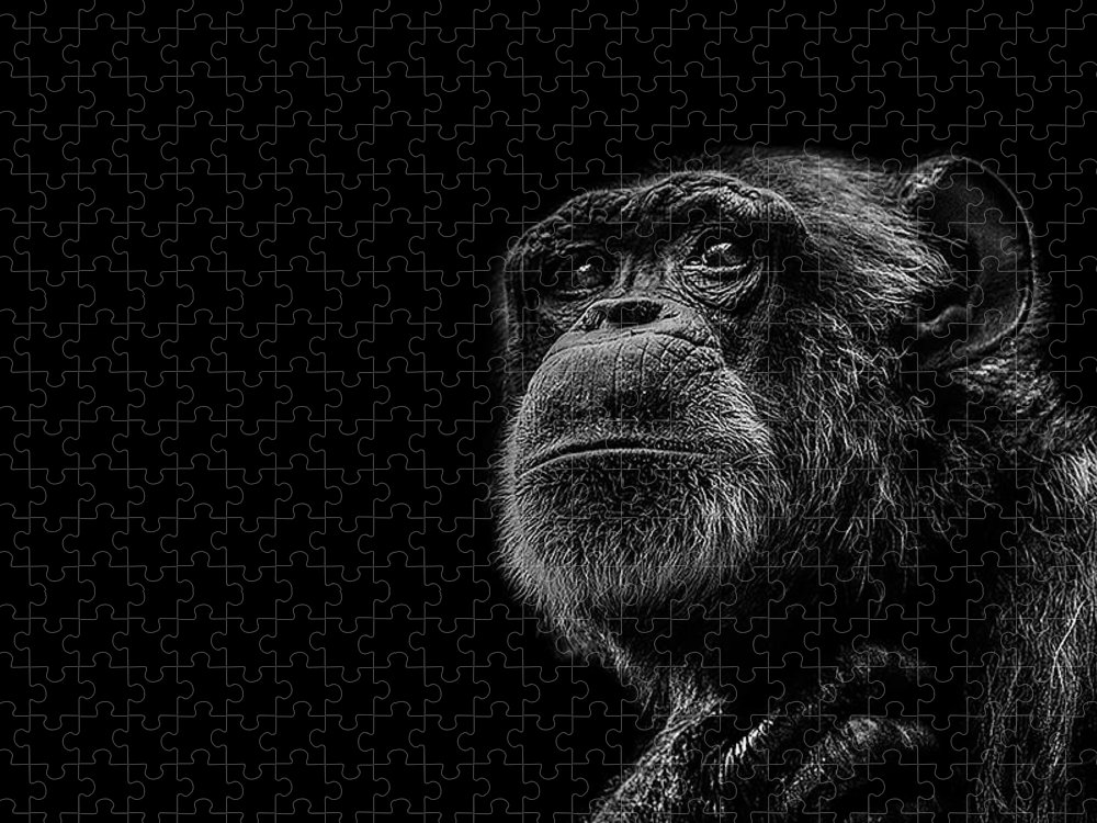 Chimpanzee Puzzle featuring the photograph Trepidation by Paul Neville