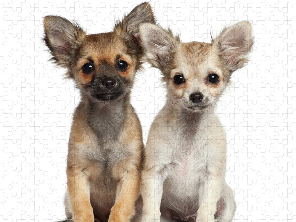 Pets Puzzle featuring the photograph Two Chihuahua Puppies Sitting 3 Months by Life On White