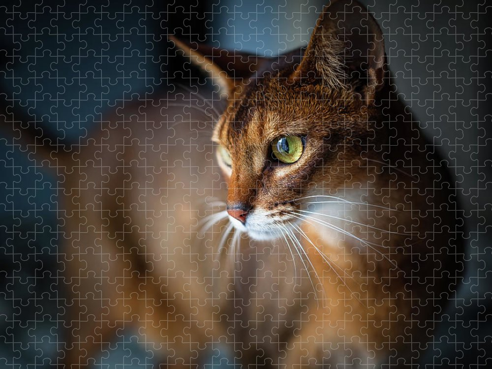 Pets Puzzle featuring the photograph Two-year-old Ruddy Male Abyssinian Cat by Josef Timar