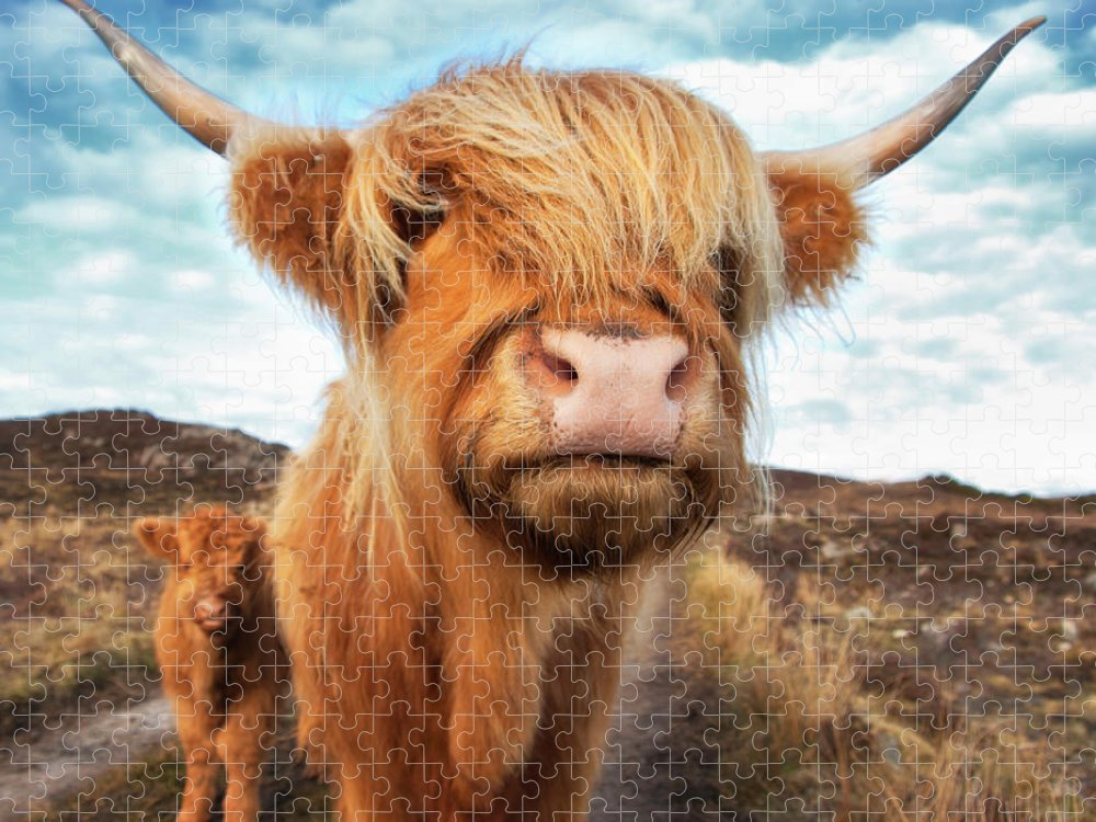 Horned Puzzle featuring the photograph Uk, Scotland, Highland Cattle With Calf by Westend61