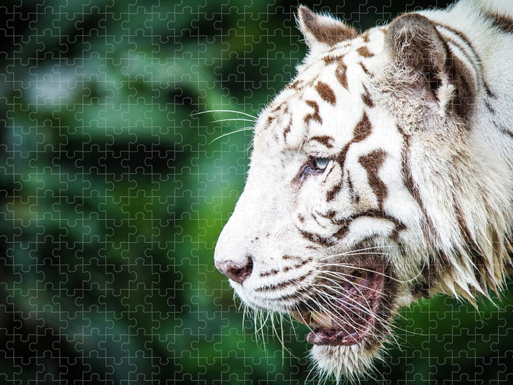 Snarling Puzzle featuring the photograph White Tiger by Tony Kh Lim