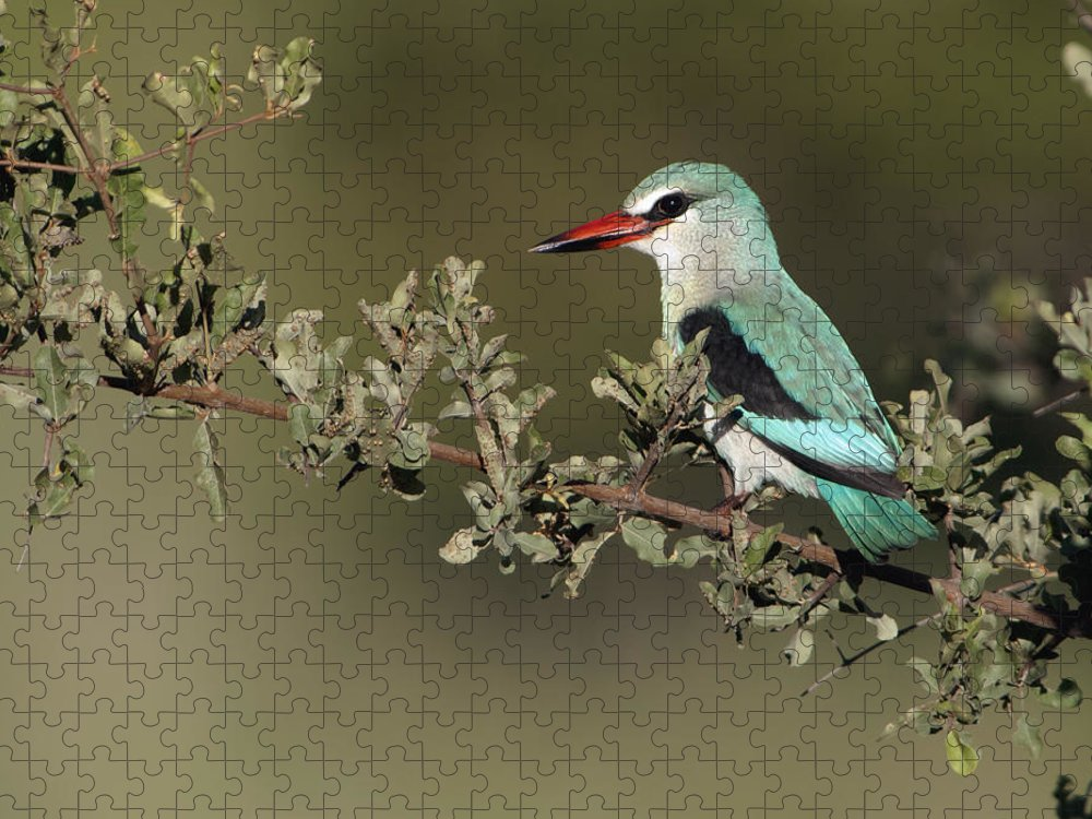 Nis Puzzle featuring the photograph Woodland Kingfisher Kruger Np South by Alexander Koenders