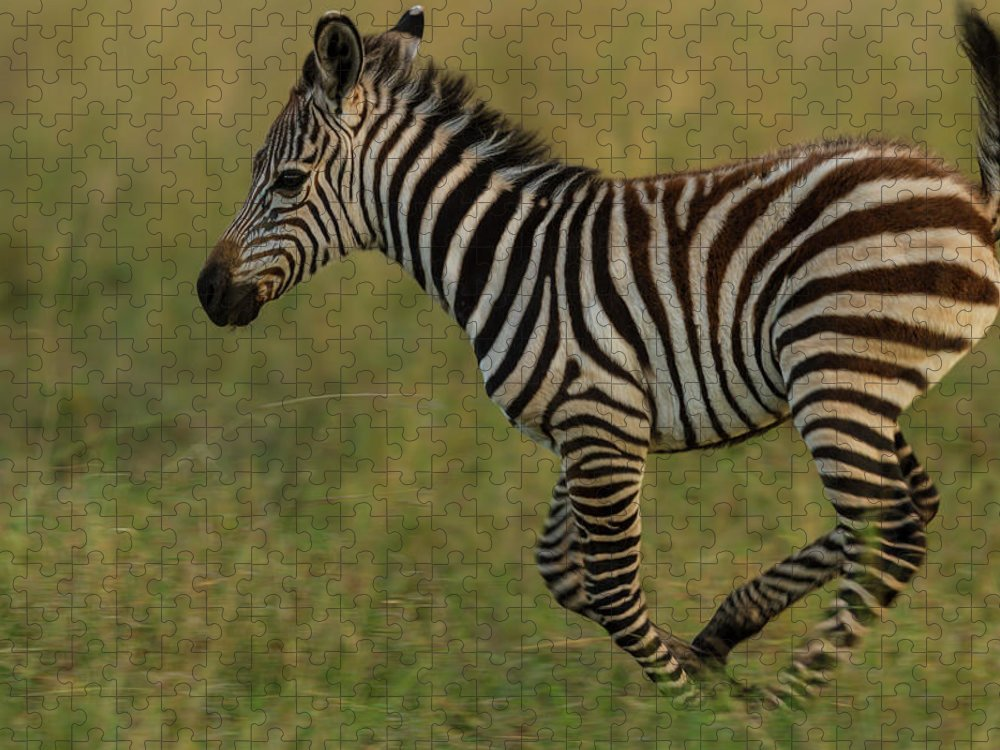 Plains Zebra Puzzle featuring the photograph Zebra Foal Running For Joy by Manoj Shah