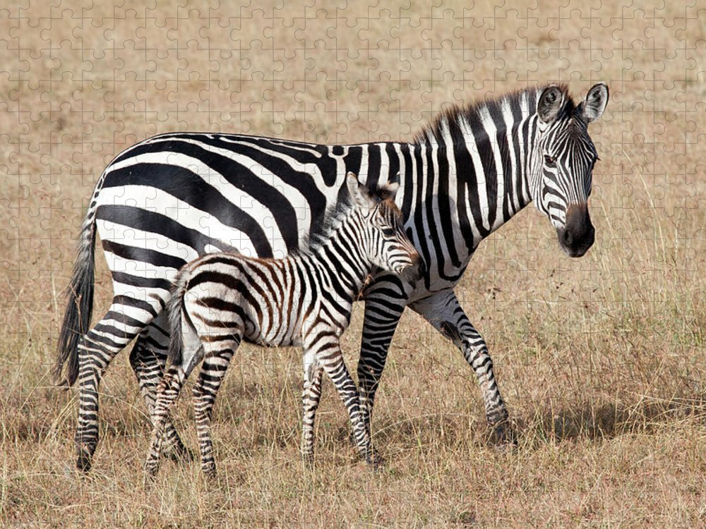 Kenya Puzzle featuring the photograph Zebra With Young Foal, Masai Mara by Angelika