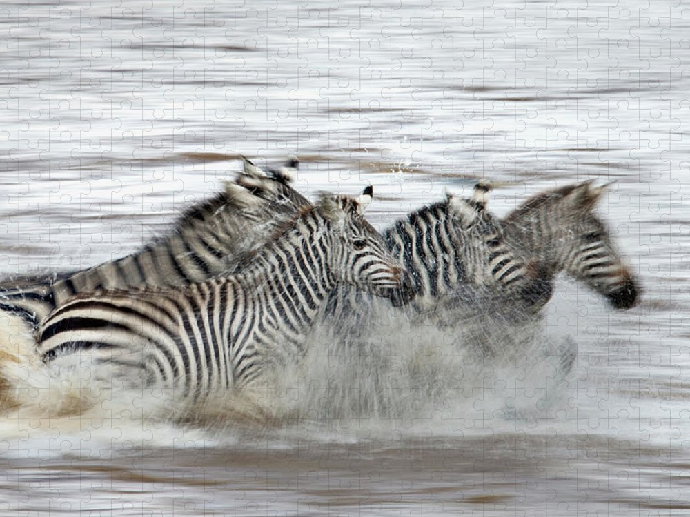 Plains Zebra Puzzle featuring the photograph Zebras Crossing The Mara River by Aditya Singh