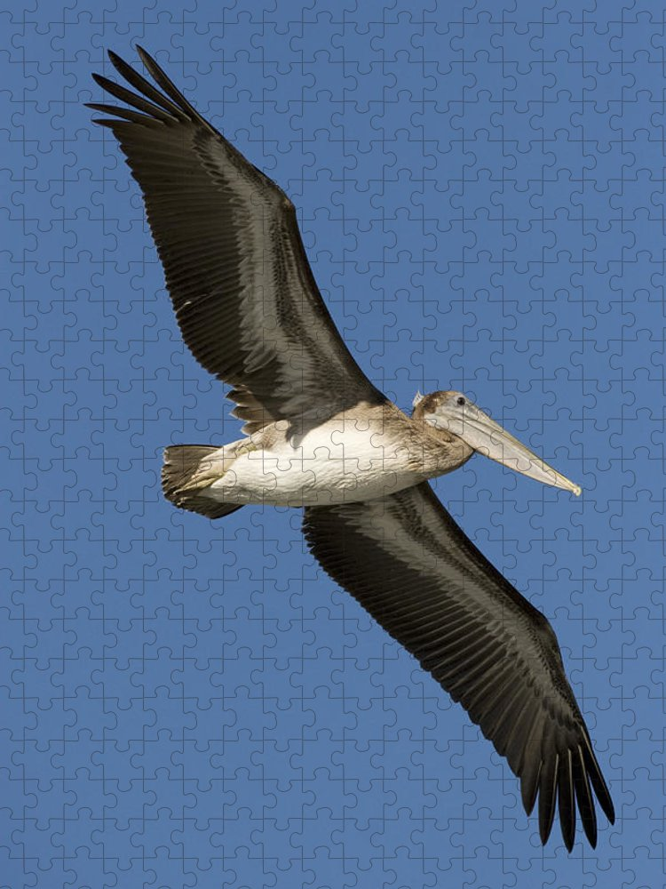 00429753 Puzzle featuring the photograph Brown Pelican Juvenile Flying Santa by Sebastian Kennerknecht