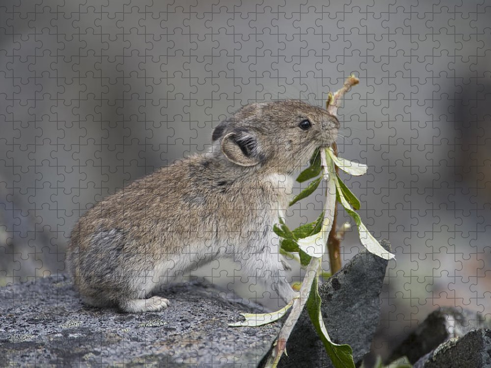 Mp Puzzle featuring the photograph American Pika by Michael Quinton