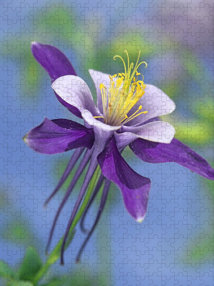 00176669 Puzzle featuring the photograph Colorado Blue Columbine Close by Tim Fitzharris