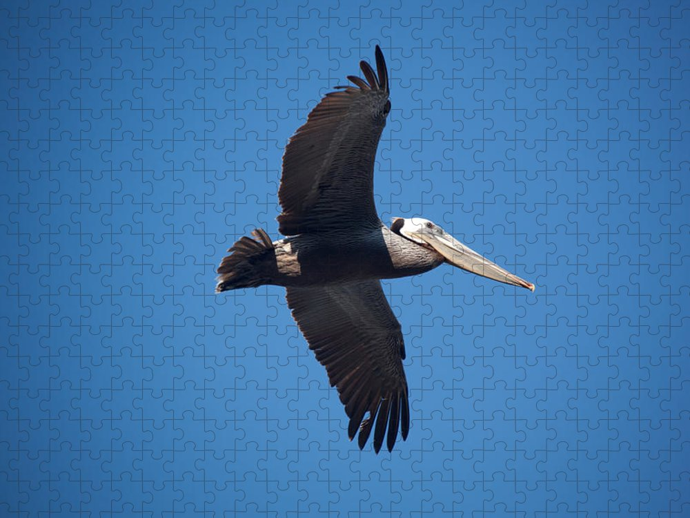 Pelican Puzzle featuring the photograph flying Pelican by Ralf Kaiser