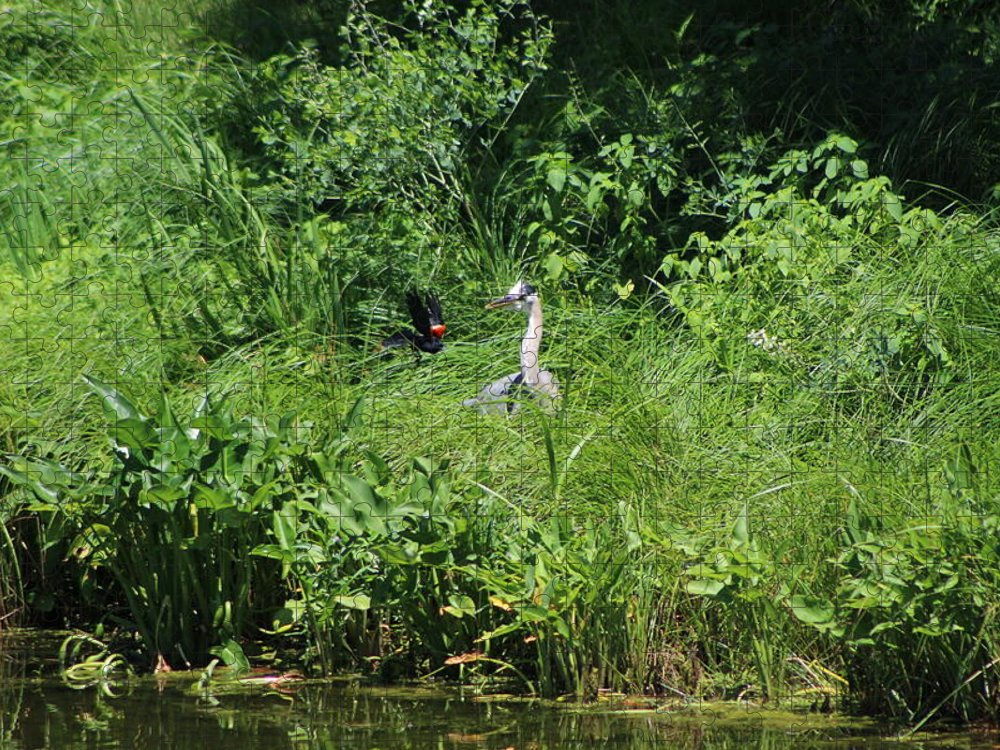 Marsh Puzzle featuring the photograph Annoyed - Heron and Red Winged Blackbird 5 of 10 by Colleen Cornelius