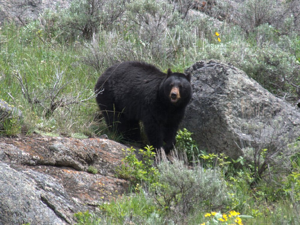 Black Bear Puzzle featuring the photograph Curious Black Bear by Frank Madia