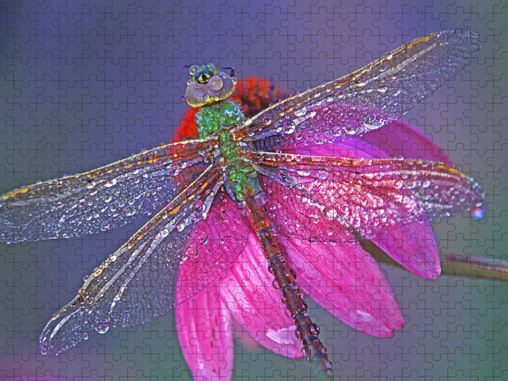 Dew Covered Dragonfly Rests On Purple Cone Flower Puzzle featuring the photograph Dreaming Dragon by Bill Morgenstern