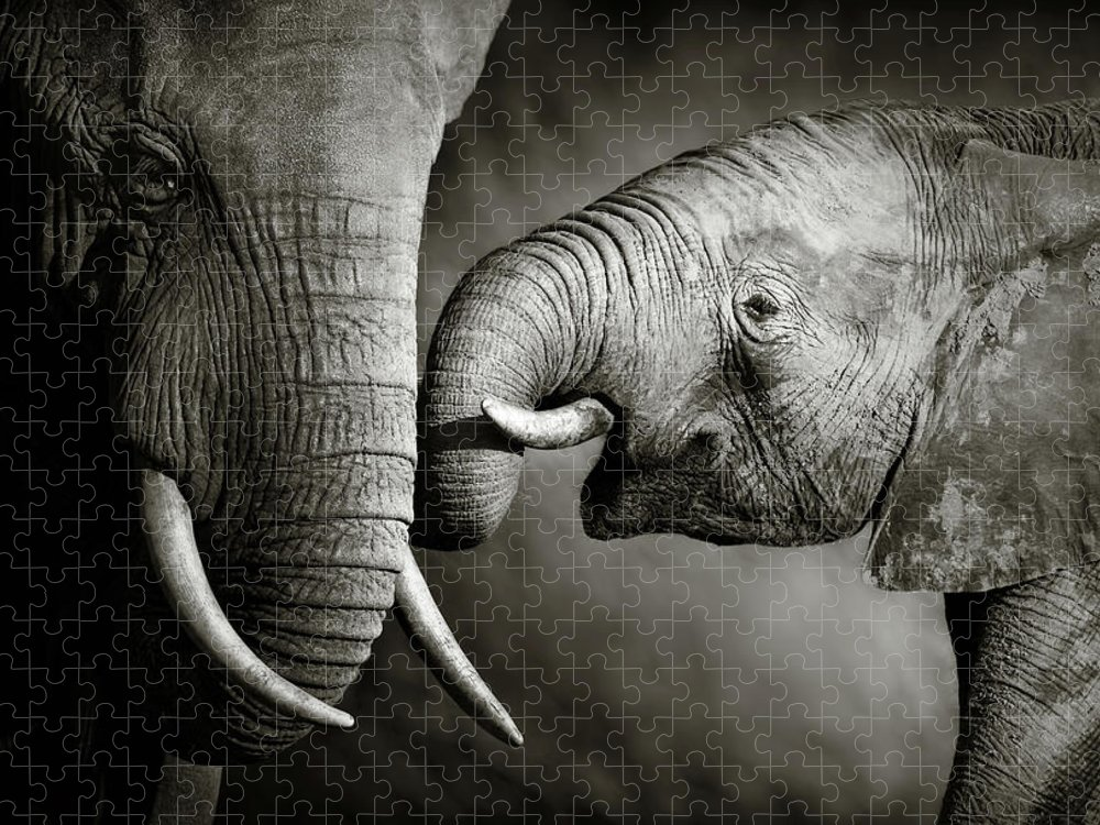 Elephant; Interact; Touch; Gently; Trunk; Young; Large; Small; Big; Tusk; Together; Togetherness; Passionate; Affectionate; Behavior; Art; Artistic; Black; White; B&w; Monochrome; Image; African; Animal; Wildlife; Wild; Mammal; Animal; Two; Moody; Outdoor; Nature; Africa; Nobody; Photograph; Addo; National; Park; Loxodonta; Africana; Muddy; Caring; Passion; Affection; Show; Display; Reach Puzzle featuring the photograph Elephant affection by Johan Swanepoel