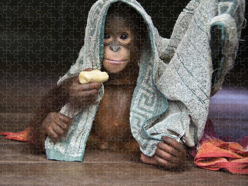 00486841 Puzzle featuring the photograph Orangutan 2yr Old Infant Holding Banana by Suzi Eszterhas