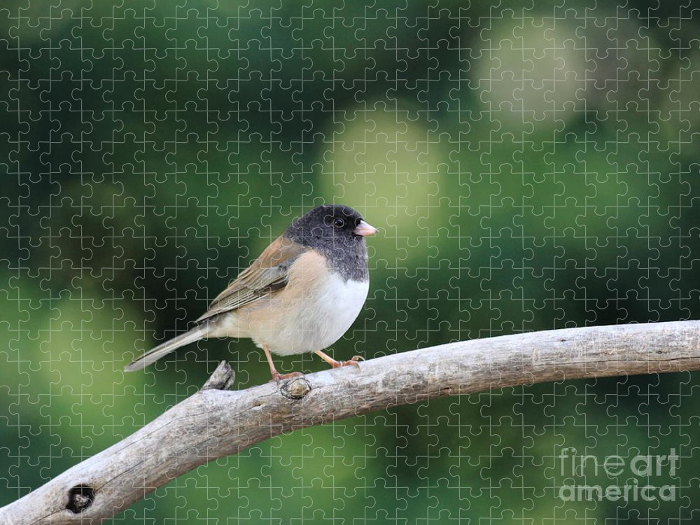 Wildlife Puzzle featuring the photograph Oregon Junco by Wingsdomain Art and Photography
