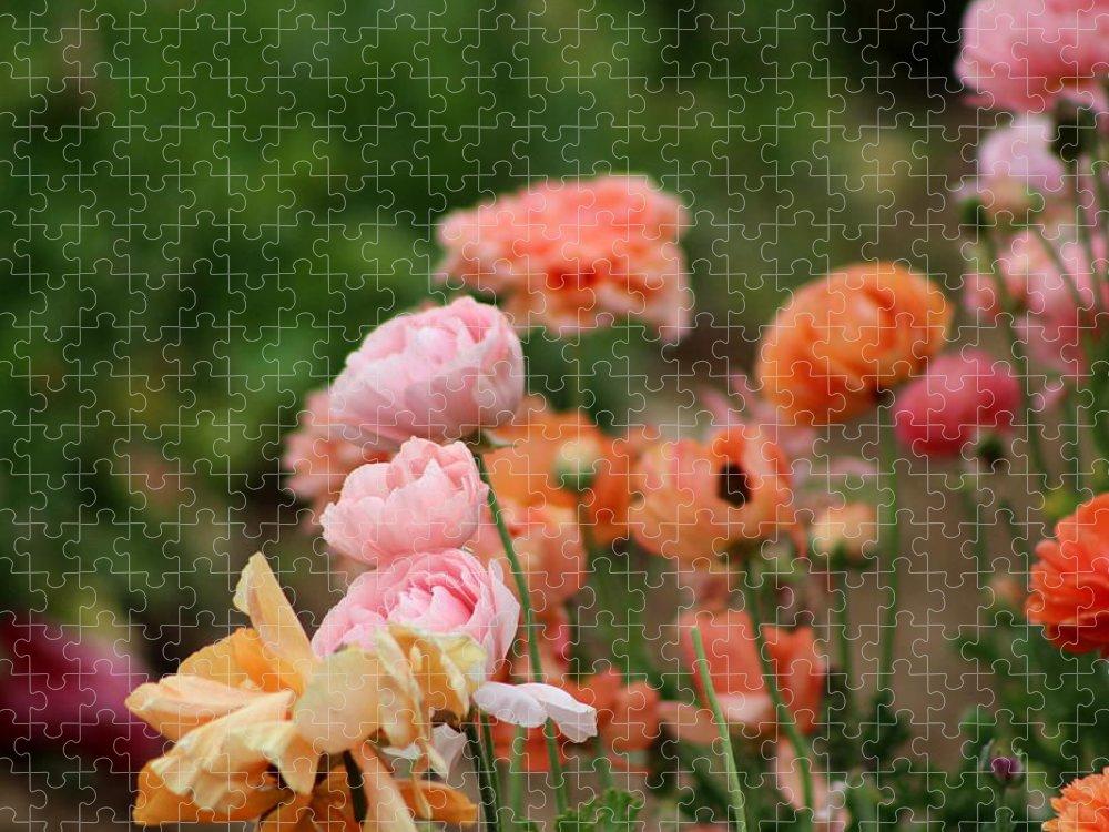 Powder Pink Ranunculus Puzzle featuring the photograph Powder Pink and Salmon Ranunculus by Colleen Cornelius