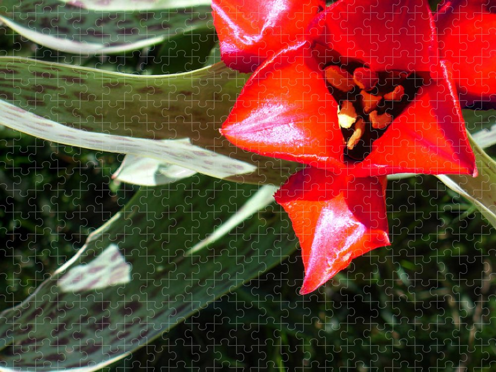 Tulip Puzzle featuring the photograph Tulip by Steve Karol