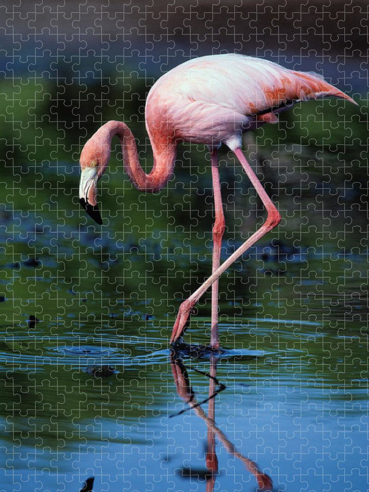 Animal Themes Puzzle featuring the photograph American Flamingo Phoenicopterus Ruber by Art Wolfe