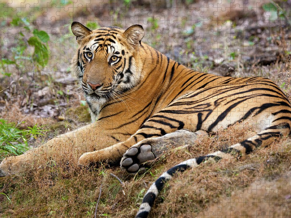 Looking Over Shoulder Puzzle featuring the photograph An Adult Tiger In Bandhavgarh National by Mint Images - Art Wolfe