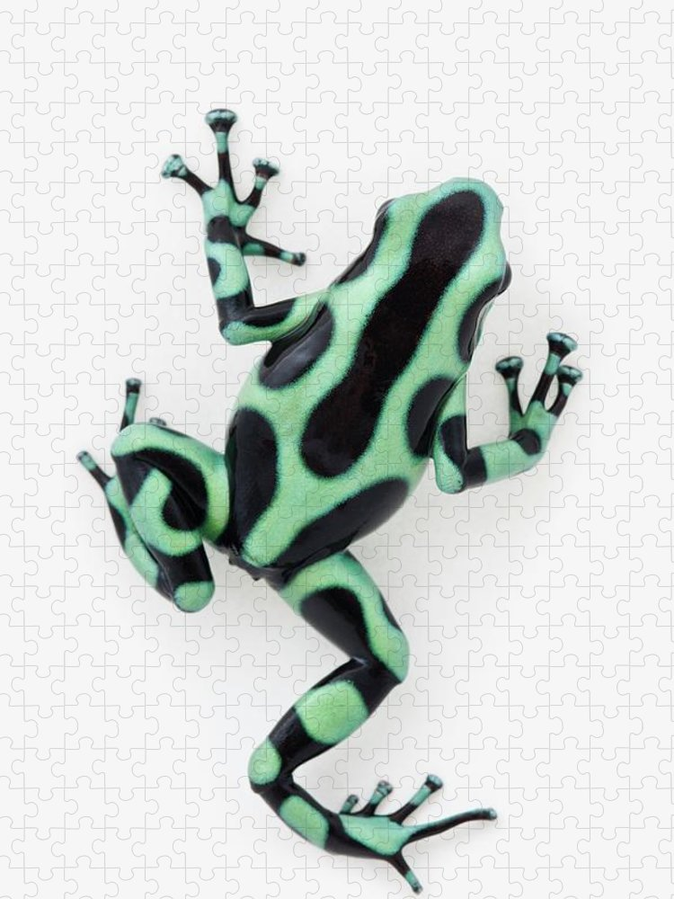 White Background Puzzle featuring the photograph Black And Green Poison Dart Frog by Design Pics / Corey Hochachka