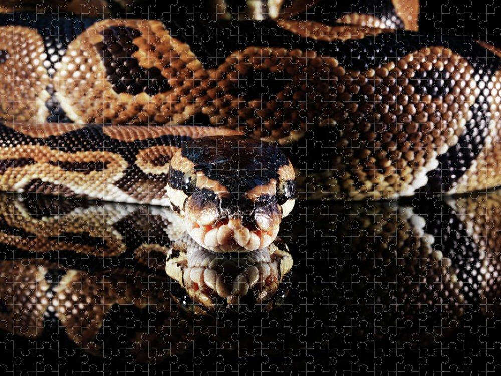 Copenhagen Puzzle featuring the photograph Burmese Python by Henrik Sorensen