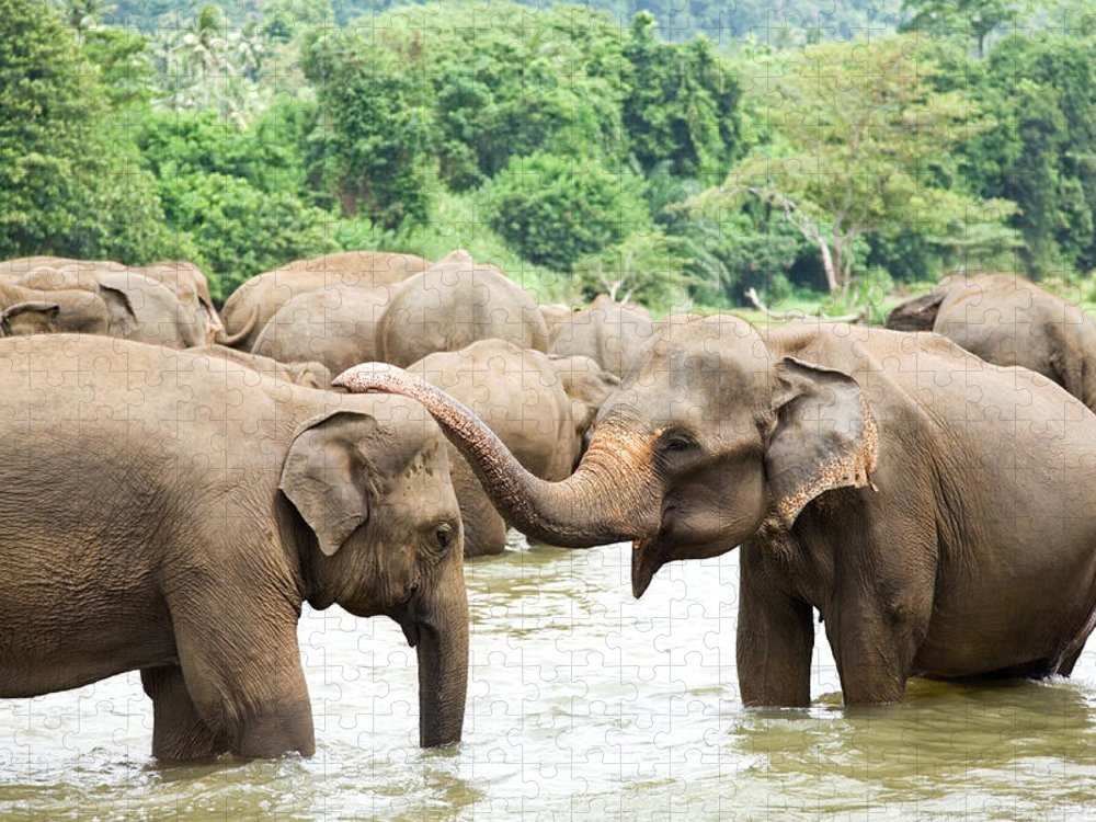 Animals In The Wild Puzzle featuring the photograph Elephants In River by Lp7