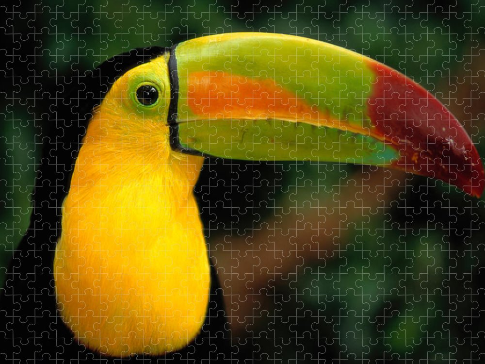 Keel-billed Toucan Puzzle featuring the photograph Keel-billed Toucan Ramphastos by Art Wolfe
