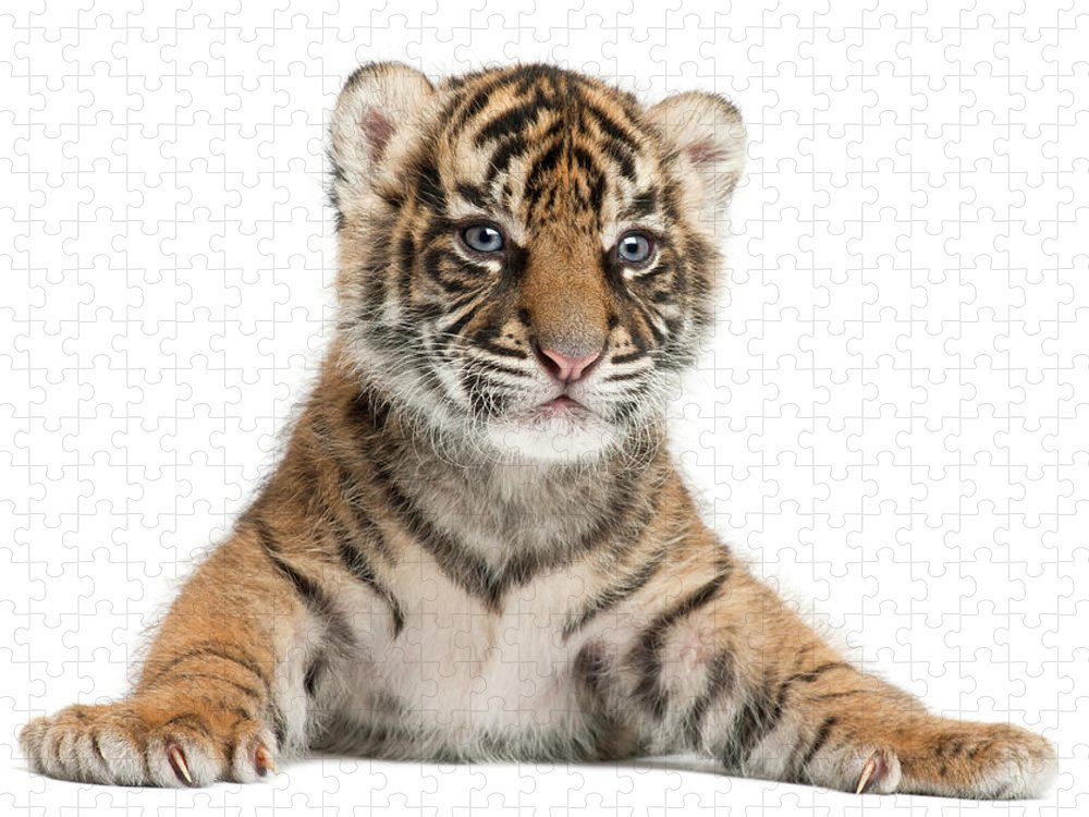 White Background Puzzle featuring the photograph Sumatran Tiger Cub - Panthera Tigris by Life On White