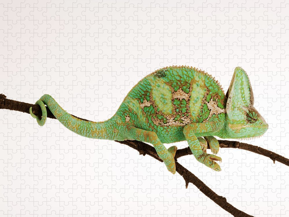 White Background Puzzle featuring the photograph Yemen Chameleon Sitting On Branch by Martin Harvey
